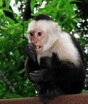 a cute capuchin monkey for adoption