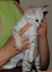 F2 savannah kittens looking for a new home