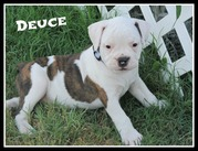 Awesome American Bulldog Puppies Johnson Type