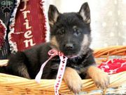 German Shepherd Puppies For Sale...