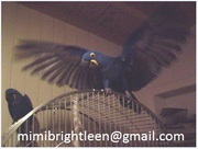 Tamed Talking pair of hyacinth macaws for adoption