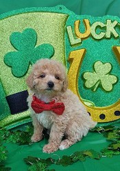 BEAUTIFUL TOY POODLE PUPPY
