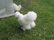 Bearded Bantam Silkies