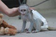 3 cute Capuchin Baby Monkeys for adoption