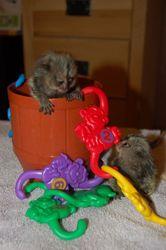 adorable marmoset monkeys for adoption