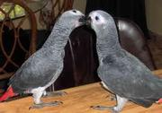 Hand fed Congo African Grey Parrot