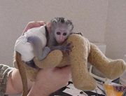 Lovely Male And Female Capuchin Monkeys For Adoption