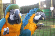 blue and gold macaws for adoption