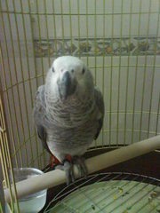African grey Parrot for home