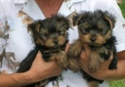 well tame yorkie puppies for re homing